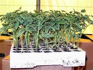 rassada-pomidorov