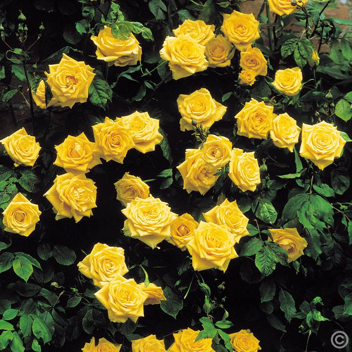 Climbing Rose Golden Shower