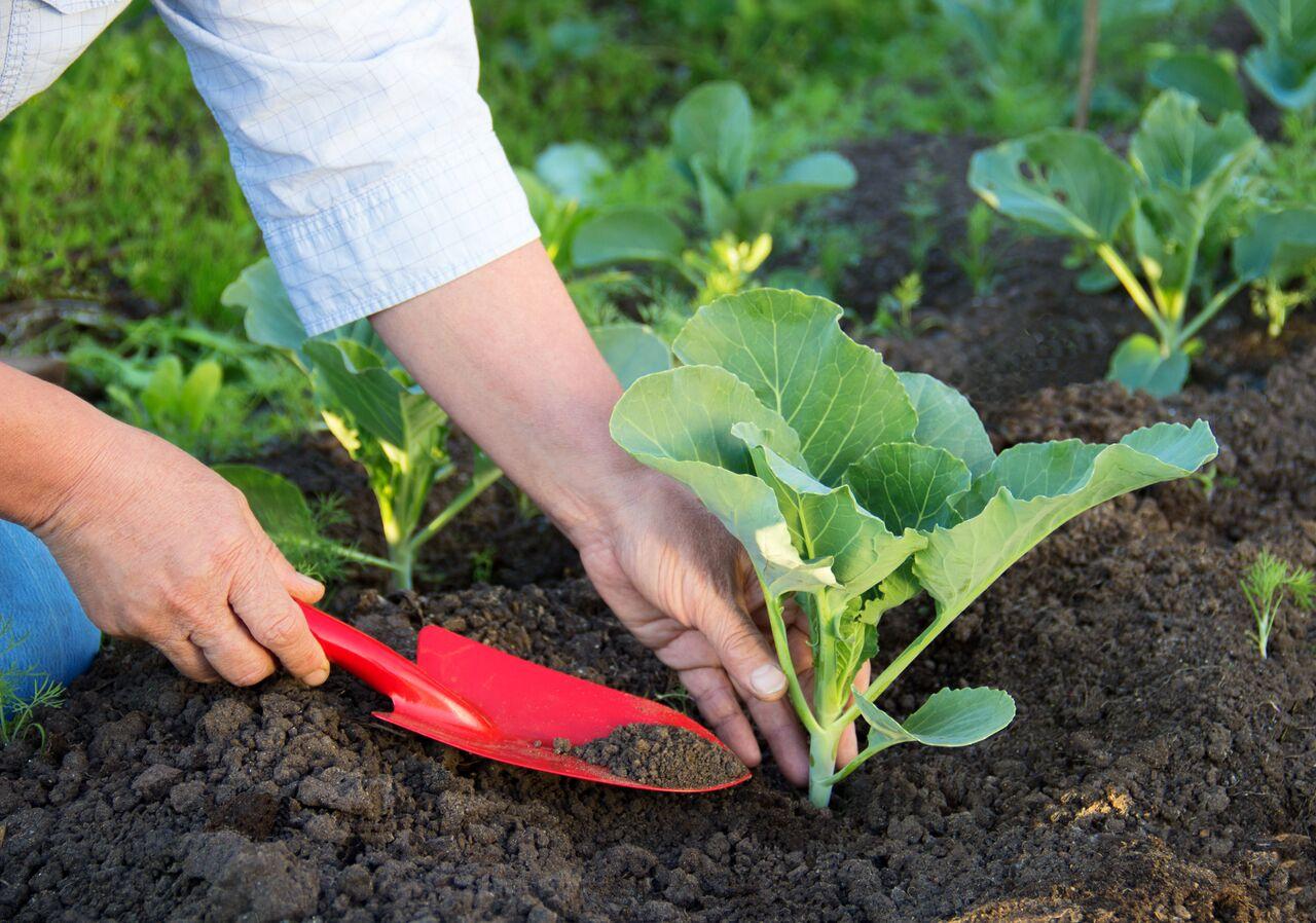Как выращивать рассаду цветной капусты и брокколи в 88