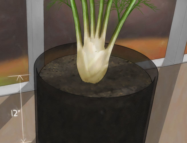 728px-Grow-Fennel-Step-3-Version-2
