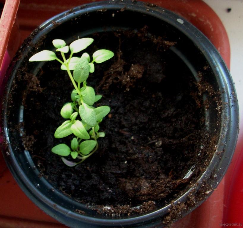 Чабер огородный выращивание из семян когда сажать 18