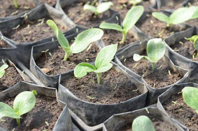 Как сажают семя кабачка 53