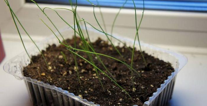Когда садить лук порей на рассаду 79