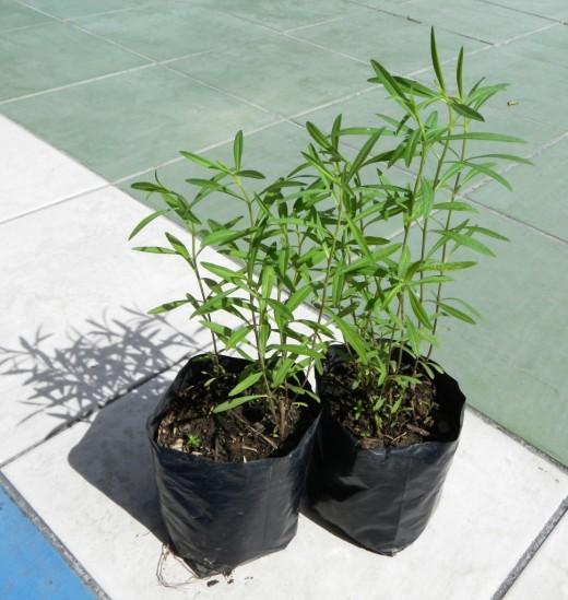 Artemisia-dracunculus-04-520x549