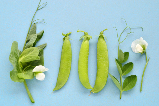 Pea pod, tendril and flower on blue background.